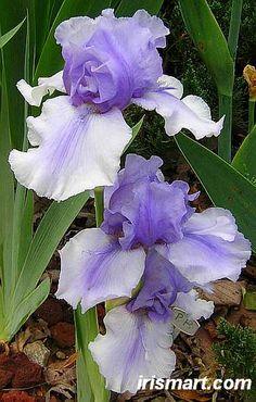 'Bye Bye Blue' Tall Bearded Iris