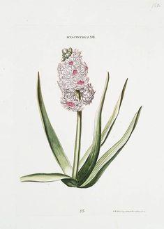 Hyacinth (1768-1786) by Georg Dionysius Ehret (1708-1770). Plate from 'Hortvs, nitidissimis omnem per annvm svperbiens floribvs : sive, Amoenissimorvm florvm imagines' … Christophorvs Iacobvs Trew...