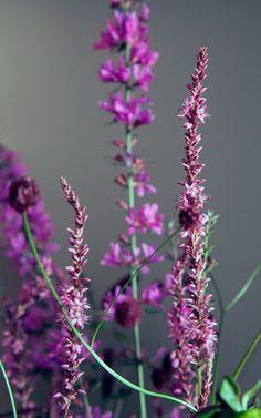 Perennial Flowers & Plants Garden & Patio Crocosmia 'Hellfire' Plant in a 17cm Pot.