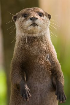 Even though River Otters are not listed as Endangered species, their range has been greatly reduced over the years by habitat destruction and they are vulnerable to pollution and toxins in the environment. Nature Animals, Animals And Pets, Baby Animals, Funny Animals, Cute Animals, Strange Animals, Cute Creatures, Beautiful Creatures, Animals Beautiful