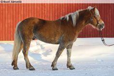 Haflinger - gelding Enrico 5