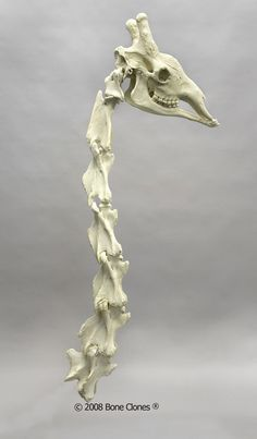 giraffa camelopardalis (giraffe neck and vertebrae)