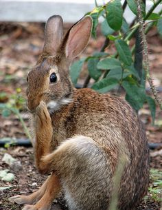 Rabbit Rabbit Rabbit by Martin - Adornments NYC, Reptiles, Mammals, Hare Pictures, Animal Pictures, Woodland Creatures, Woodland Animals, Baby Animals, Cute Animals, Cute Bunny