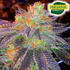 Buy Cannabis Seeds, Weed Seeds, Indica Strains, Fruit Garden, Bud, South Africa, Plants, Orchards, Plant