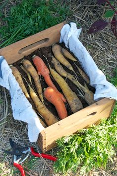 How to store carrots and beets over the winter (layer in damp sand in a crate or large tupperware container someplace cold, can last all winter).  Love her blog!