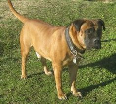 Diesel is an adoptable Bullmastiff Dog in Limekiln, PA