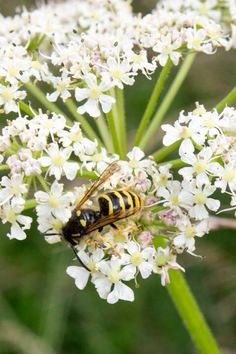 Wasp on flowers. Photography