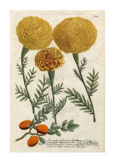 Marigold Magic I Giclee Print by Johann Wilhelm Weinmann at AllPosters.com