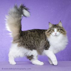 Norwegian Forest Cats are my 3rd favorite cat breed.