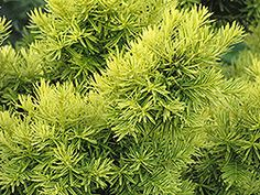 Click to view full-size photo of Dwarf Golden Japanese Yew (Taxus cuspidata 'Nana Aurescens') at Oakland Nurseries Inc