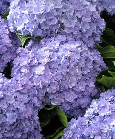 Hydrangea Plant - You and Me Passion Blue - 234780 - Late Flowering Perennials - Perennial Plants - Gardening Rare Flowers, Exotic Flowers, Pretty Flowers, Flower Bed Plants, Planting Flowers, Hortensia Hydrangea, Hydrangea Plant, Sutton Seeds, Flower Seeds