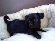cute lil' black Chug (Chihuahua + pug)