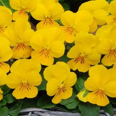 Viola Yellow produces bright, cheerful, yellow flowers on top of beautifully compact, yet sturdy plants and forms part of the Sorbet XP series. In our trials, Sorbet XP Violas outperformed other varieties by far, producing superior, well branched plants that were resistant to stretching - and comes highly recommended! Ideal for mixing with other colours from the Sorbet XP range as the flowering times and sizes are extremely similar Violas delight with a steady succession of perky flowers ...