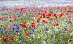 Fresh meadow - Fresh Spring meadow flowers covering vas area n Sandridge, St Albans,  Heartwood Forest.  Poppies, Cornflowers, Daisies.