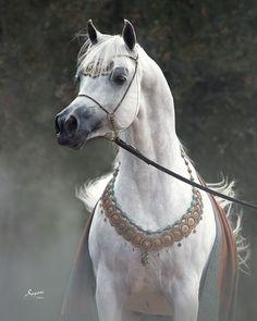 Kamal Ibn Adeed straight egyptian stallion (Al Adeed Al Shaqab x NF Bint Sahja). Kamal is a 3-Time Egyptian Event Champion Colt! Arabians Ltd. in Waco, Texas