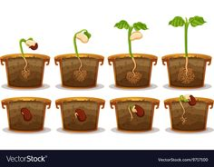 Seed germination in claypot Royalty Free Vector Image Childhood Education, Kids Education, Body Parts Preschool, School Frame, Kids Background, Jack And The Beanstalk, Seed Germination, Plant Science, Flower Coloring Pages