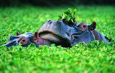 Hipopotam – rzeczny koń.