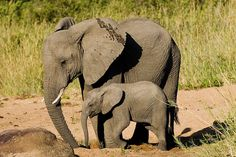 Mother and baby elephant, Kruger National Park. I remember when Elsie and I went on safari in Pilanesberg. We were the first ones  of the day to find the elephants. And then we saw more than 4 families of them! She was afraid they'd squish us!