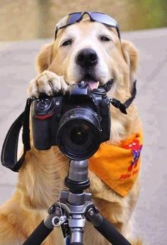 Golden Retriever Photographer say cheese. Love My Dog, Puppy Love, Animals And Pets, Funny Animals, Cute Animals, Funny Dogs, Cute Dogs, Foto Poster, Photo Chat