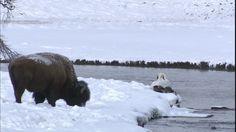 754837674-american-buffalo-swan-yellowstone-national-park-wyoming.jpg (480×270)