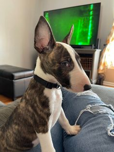 Bull Terrier Puppy, Boston Terrier, Dog Photos, Cat Memes, Cute Puppies, Picture Video, Cute Pictures, Cute Animals, Cats