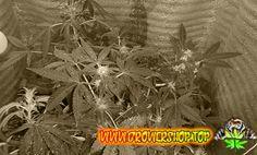Фото отчет от наших клиентов✌ Если относиться к своему хобби с любовью, то растения также одарят Вас своими плодами.  Photo report from our customers If you treat your hobby with love, the plants also bestow you with its fruits. #weed #cannabis #конопля #growershop #марихуана #каннабис #gsdt