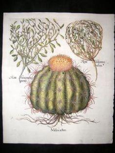 Besler 1613 LG Folio Hand Colored Botanical Print. Melon Cactus, Jericho Rose