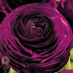 Shop Fabulous Florals' huge selection of fresh-cut wholesale flowers, bulk flowers and DIY wedding flowers and foliage, including Purple Tecate Ranunculus. Purple Wedding Flowers, Wedding Flower Decorations, Plum Wedding, Wedding Ideas, Wedding Trends, Wedding Favors, Wedding Cakes, Dream Wedding, Lush
