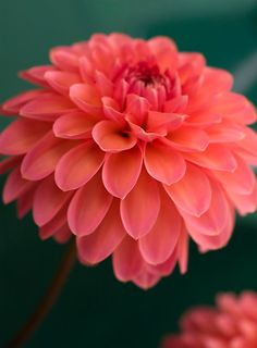 Center piece flower idea: dahlia - would take up a lot of space, inexpensive, very summery Dahlia Flower, Colorful Roses, Color Of The Year, Coral Color, Mother Nature, Planting Flowers, Flower Arrangements, Beautiful Flowers, Flora