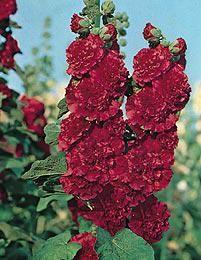 Tarhasalkoruusu punainen