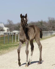 2013 Black Egyptian Arabian Filly foal, Bellagio RCA x Binte Nafila RCA by Thee Desperado