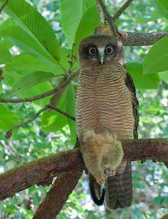 Holding its kill a Rufous Owl - Ninox rufa - native to Australia, Indonesia, and Papua New Guinea.