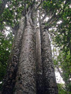 Giant trees | the-four-sisters-giant-kauri-trees