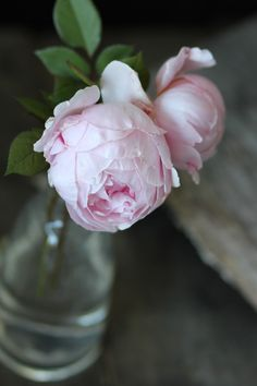 I freaking love English Roses, however, they look so much like Peonies or Ranunculus so I might just love all three!!