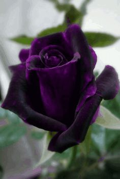 A Dark Reddish And A Purple Rose. A Beautiful Gorgeous Rose. Amazing Flowers, Love Flowers, My Flower, Pretty Roses, Beautiful Roses, Rose Meilland, Coming Up Roses, Hybrid Tea Roses, Deco Floral