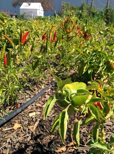 What a beautiful day to pick some chili peppers!