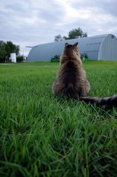 My friend Jill would like this pic I think.  it's a mancoon kitty  I think she would