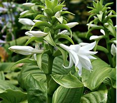 Love the flower on this Hosta, but it's only for Zones 5-8.