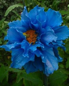 nature | flowers | double himalayan blue poppy