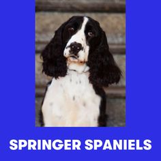 Springer Spaniel Puppies, Photo Caption, English Springer, Spaniels, Dogs, Animals, Animales, Animaux, Caption Pictures