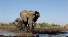 In honor of World Elephant Day, enjoy adorable gifs of our favorite grey mammal. Elephant Gif, Elephant Videos, Wildlife Photography, Animal Photography, Gif Mania, World Elephant Day, David Sheldrick Wildlife Trust, Network For Good, Wild Creatures