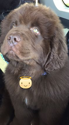 Brown Newfie pup, just little brown bear cubs, too cute!