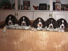 cuteness overload! <3 Springer Spaniel Puppies, Clumber Spaniel, Cocker Spaniel Dog, English Springer Spaniel, Best Dog Breeds, Best Dogs, Cute Puppies, Dogs And Puppies, English Setters