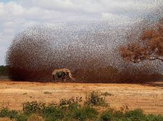 ELEPHANT IN BIRD FLOCK  A flock of red-billed queleas coming to drink at the same time as an African elephant, photograph by Antero Topp, National Geographic Photo Contest via Frans De Waals Public Page