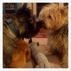 Both of the toys are mine! Cairn Terriers.
