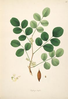 v.2 - Plants of the coast of Coromandel : 1793 - Biodiversity Heritage Library