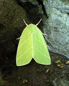 """""""leaf"""" moth"""