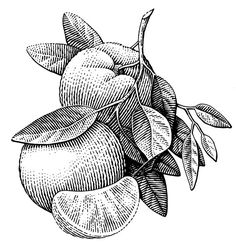 Ink Drawing various scratchboard illustrations VOL. 2 on Behance - Art And Illustration, Gravure Illustration, Engraving Illustration, Engraving Art, Food Illustrations, Scratchboard Art, Illustration Botanique, Botanical Art, Botanical Line Drawing