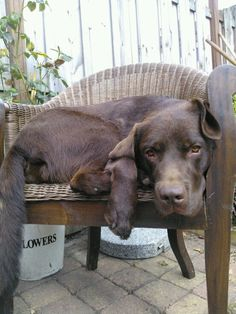 This is Takkie! My grazy & sweet labrador