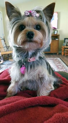 Jody's Ellie Mae ⋆ It's a Yorkie Life Cute Puppies, Cute Dogs, Dogs And Puppies, Yorshire Terrier, Dog Haircuts, Psy, Cute Dog Photos, Yorkie Dogs, Doggy Stuff